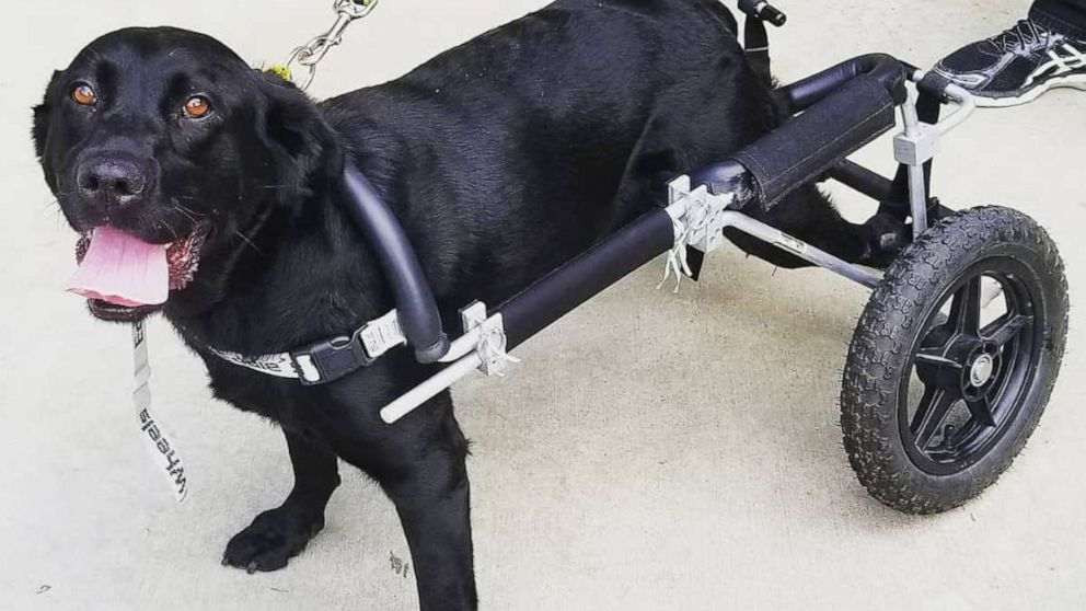 Black Lab in wheelchair finds her forever home