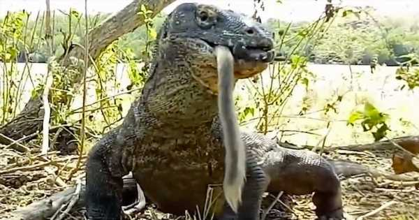 Komodo dragon eats a live monkey whole in just six gulps