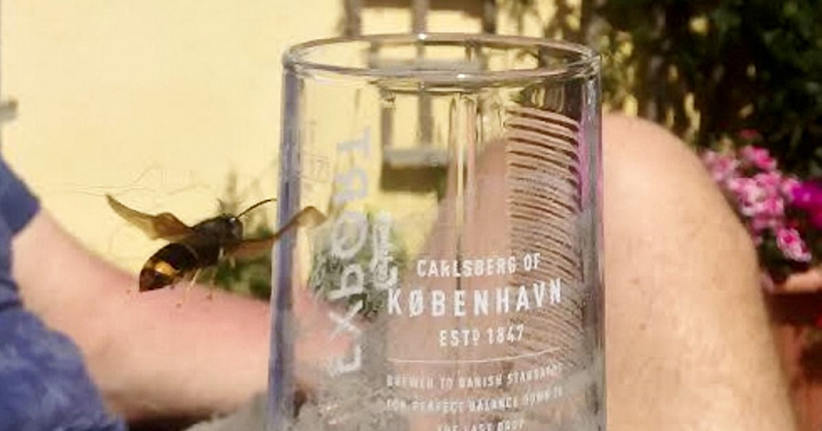 Deadly Asian hornet pictured in beer garden trying to drink lager in UK heatwave