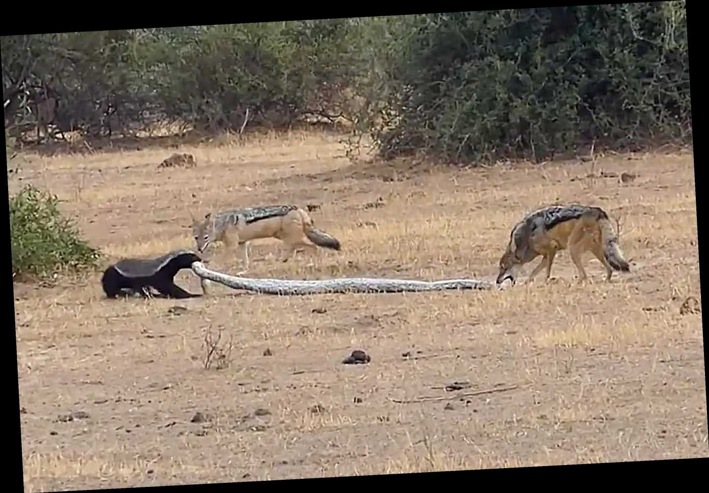 WATCH: Incredible Footage Shows Python, Honey Badger and a Pair of Jackals Fighting in Botswana