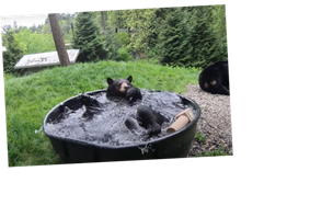 Watch A Black Bear Living Its Best Life In The Tub