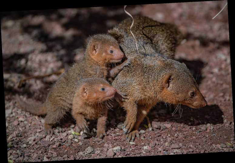 """Itty-Bitty Dwarf Mongoose Triplets Greet the World with """"Tiny Squeaks' at Chester Zoo"""